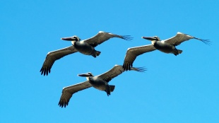 Pelicans in Formation, Pacifica, CA