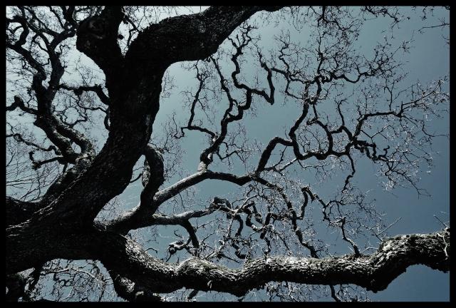 Naked Oak. Novato, CA.