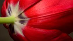 Vivid Tulip