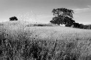 Lonely Carmel Valley Oak