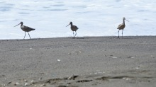 Three Amigos (Willets I think)