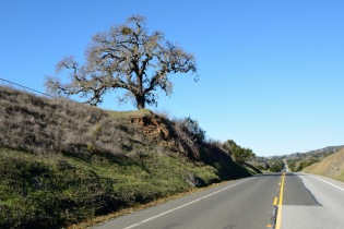 Old Oak, Canada Road near Filoli Gardens, Woodside, CA