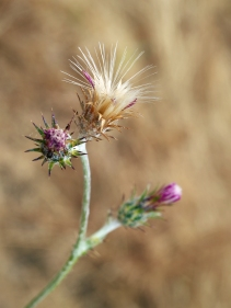 Thistledown... thistle seed ready for the wind.