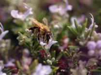Pollen Quest
