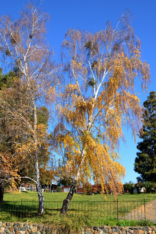 Birch and mistletoe, Jackson, CA