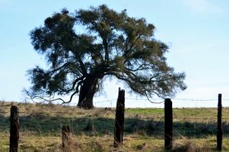 Elderly Oak, Jackson, CA