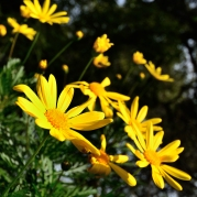 20170130-daisy02-DSE_4495_IG